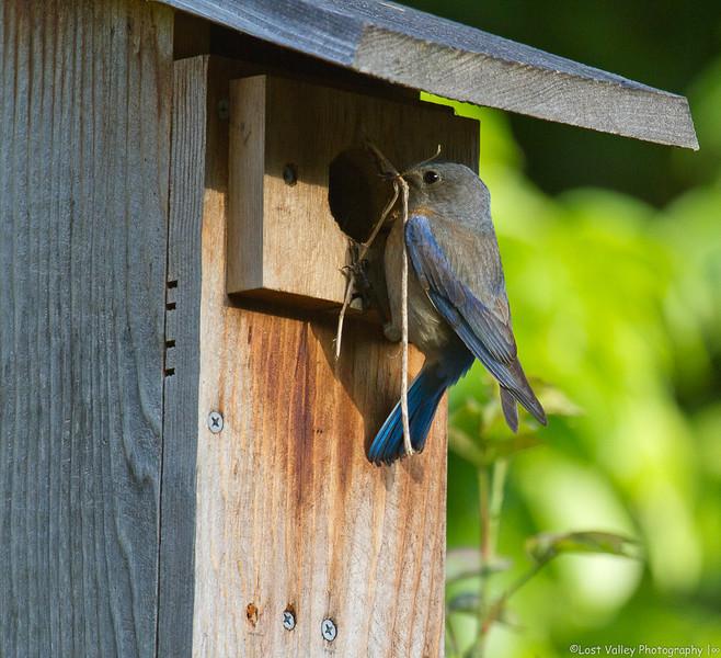 Western Bluebird Nest Building (1 of 1).jpg