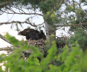 Bald Eagles in Nest 5-4-12
