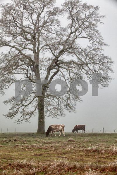 Oak & cows 4286_HDR.jpg