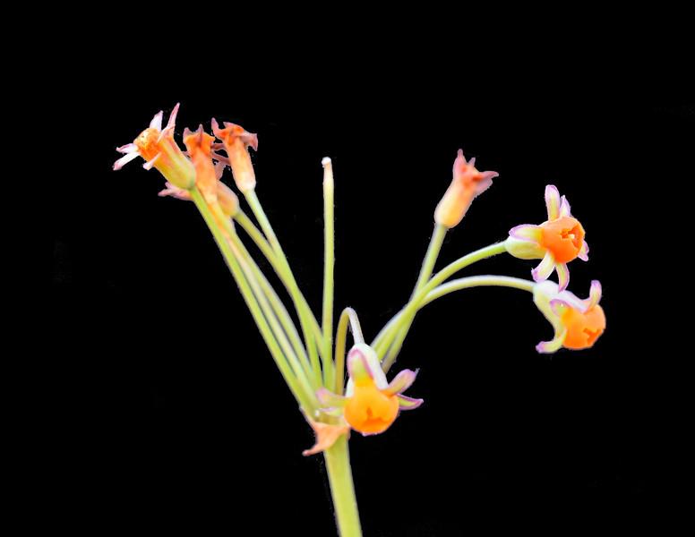 Tulbaghia ludwigiana