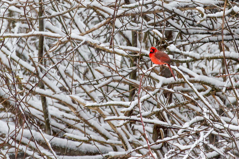 Cardinal in Snow-2986.jpg