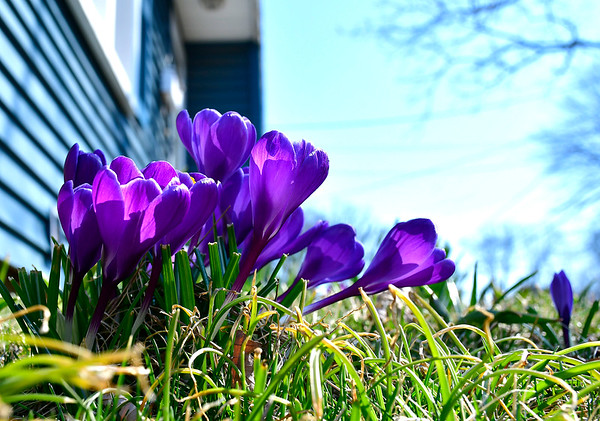 3/20/2019 Mike Orazzi | Staff Crocus flowers in a yard on Beth's Avenue in Bristol on the first day of Spring.