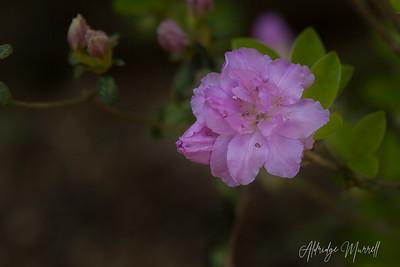 Rhododendron_Azaleas