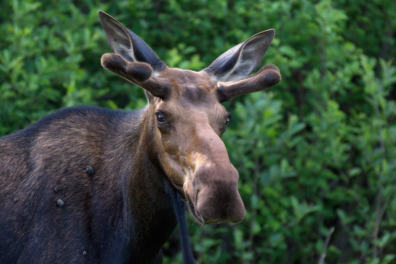 Moose, Newfoundland