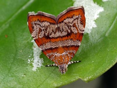 Choreutidae - Metalmark Moths