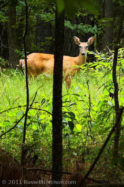 deer-6731-dt0001.jpg