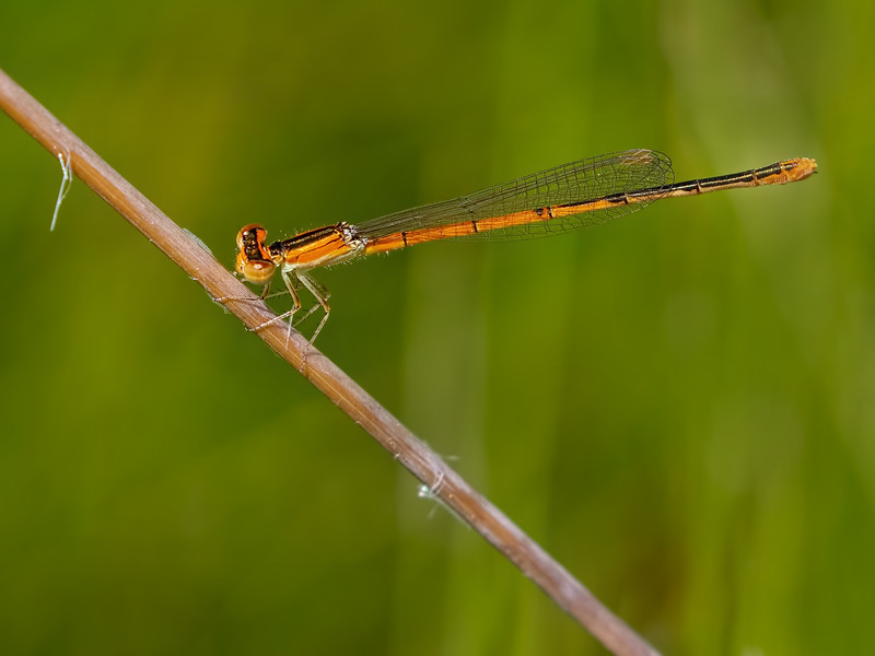 Female, immature, Sedge Meadow at Summit Bridge Ponds, DE