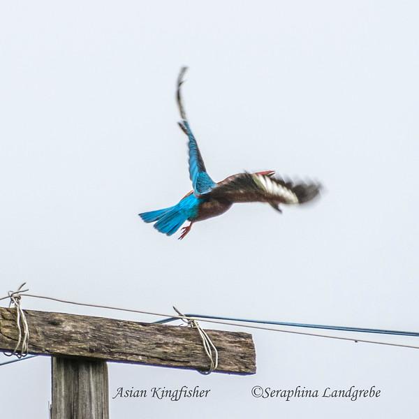 _DSC8392Flight Kingfisher.jpg