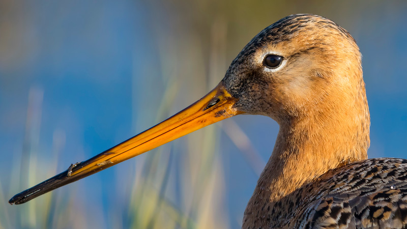 Fugle-KobbersneppeStor-LimosaLimosa-2017-04-30-_67A6206-Danapix.jpg
