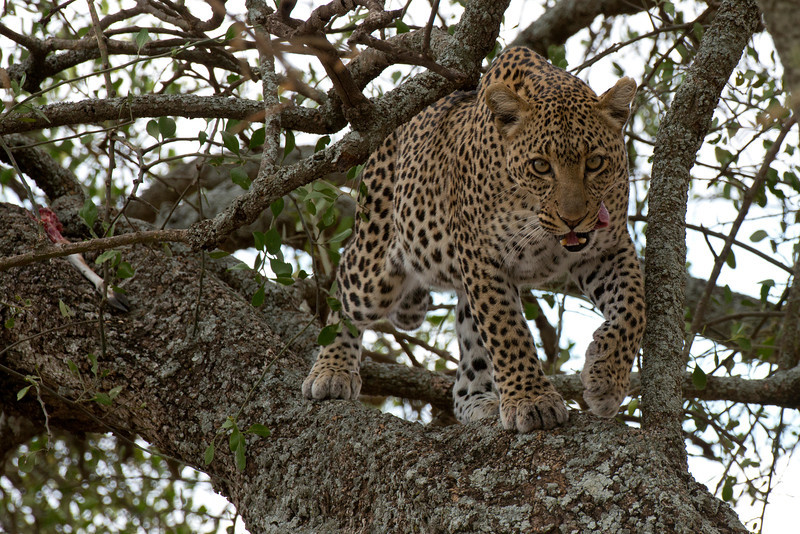After a filling meal - African Leopard, spoils are seen on the left of this image...
