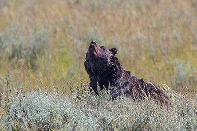 Grizzly (Sept 4-5 Indian Pond Elk Kill)