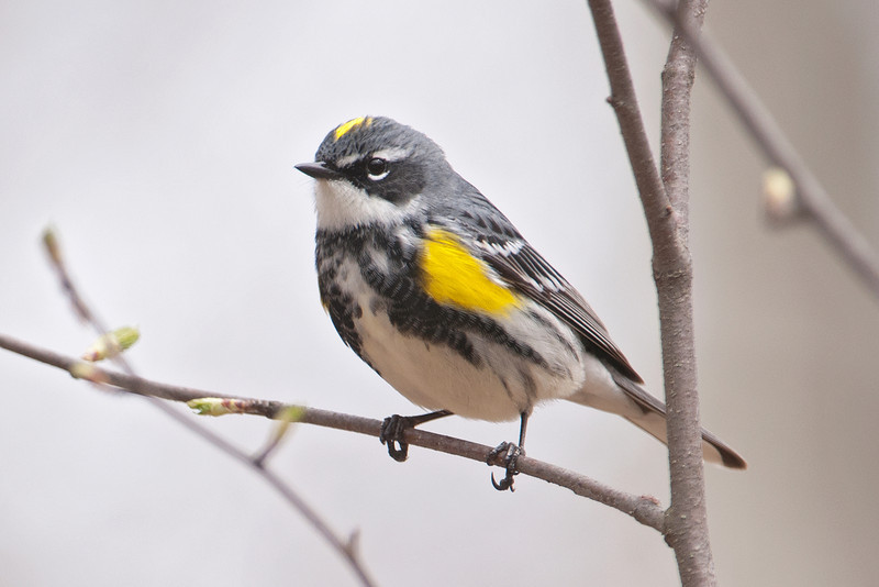 Warbler - Yellow-rumped - Plughat Point - Itasca County, MN