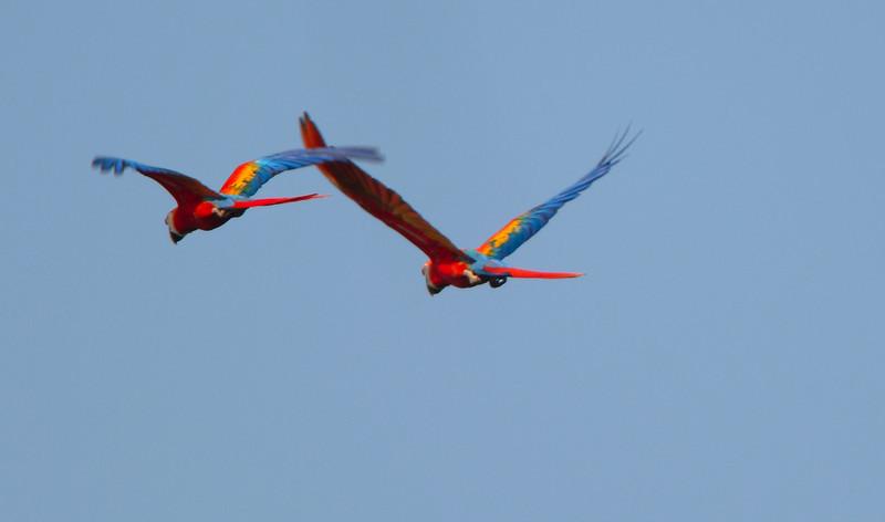 Scarlet Mackaws in Costa Rica