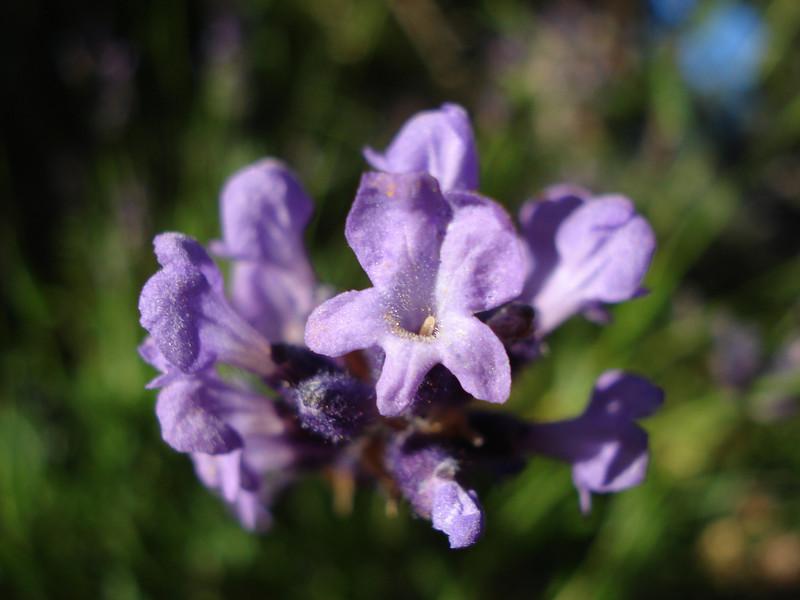 Lavender 08/30/2011