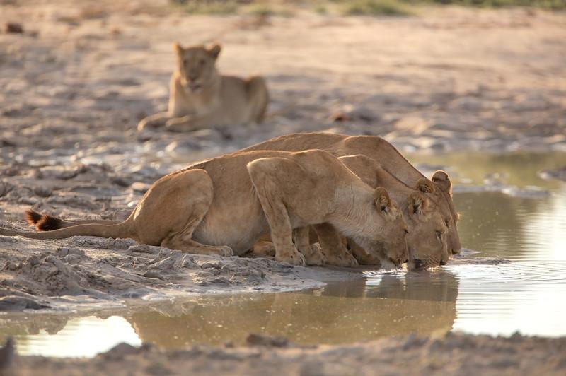 Lions - 8792.jpg
