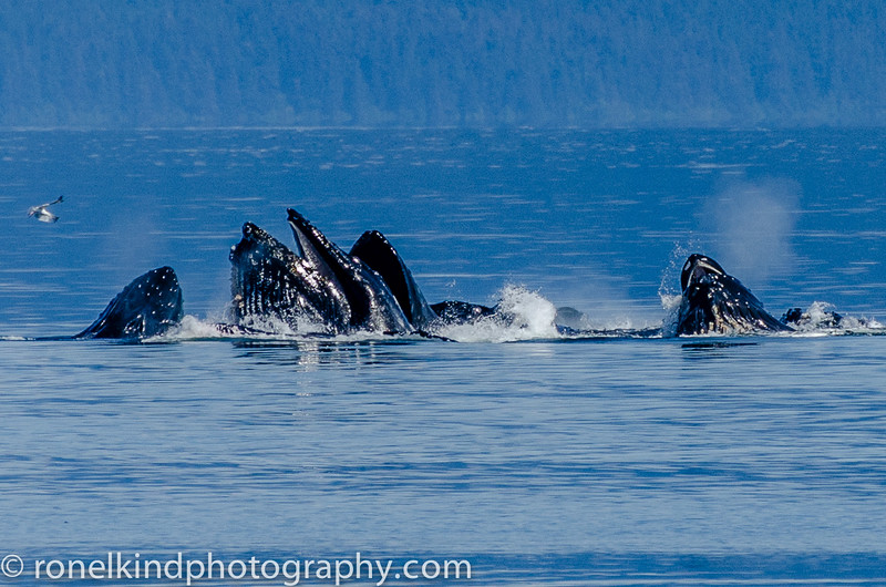Humpback whales catching their prey.