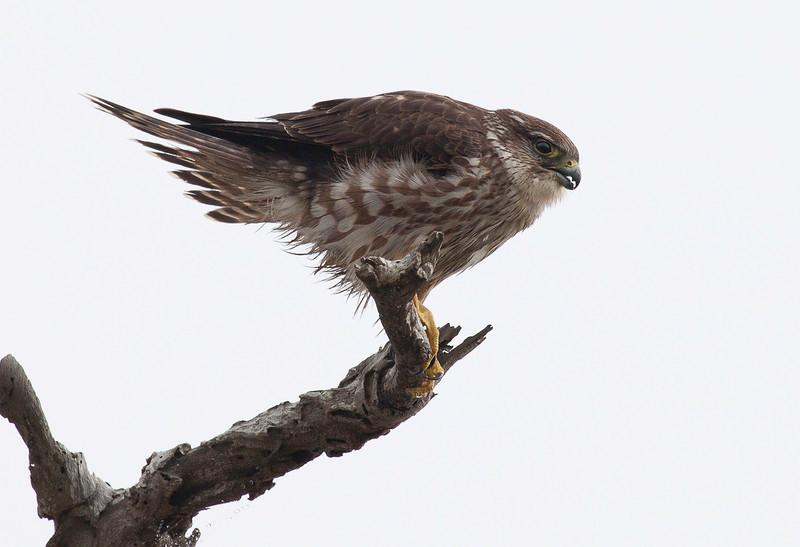 Young Osprey 2.jpg