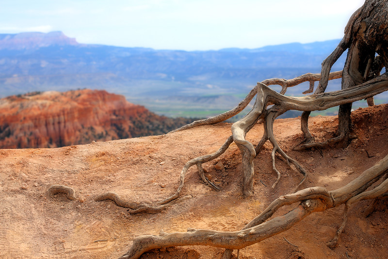 Bryce Canyon Tree Roots 5 4.2017.jpg