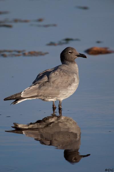 Ecuador, Galápagos, North Seymour: Lava Gull (Lavatrut) .