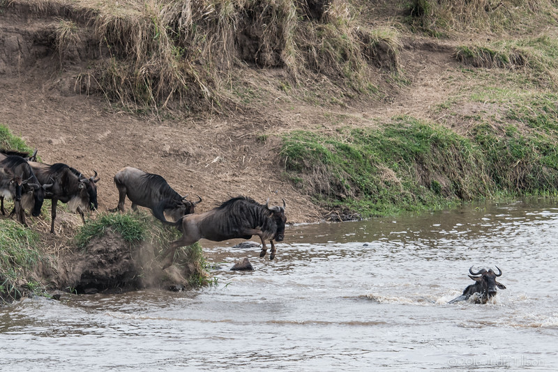 Tanzania wildebeest jump at crossing-0878.jpg