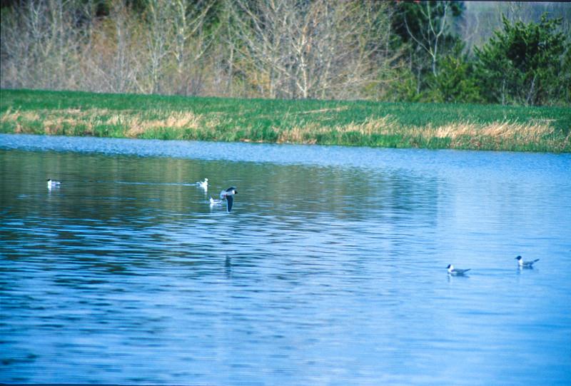 Little Gull Moose Lake Sewage Ponds Moose Lake MN SLIDE SCAN BIRDS-67.jpg