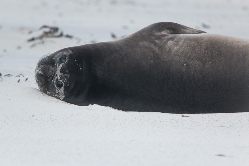 Southern elephant seal weaner, Falkland Islands