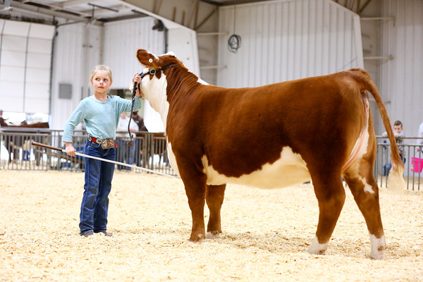 Polled Hereford