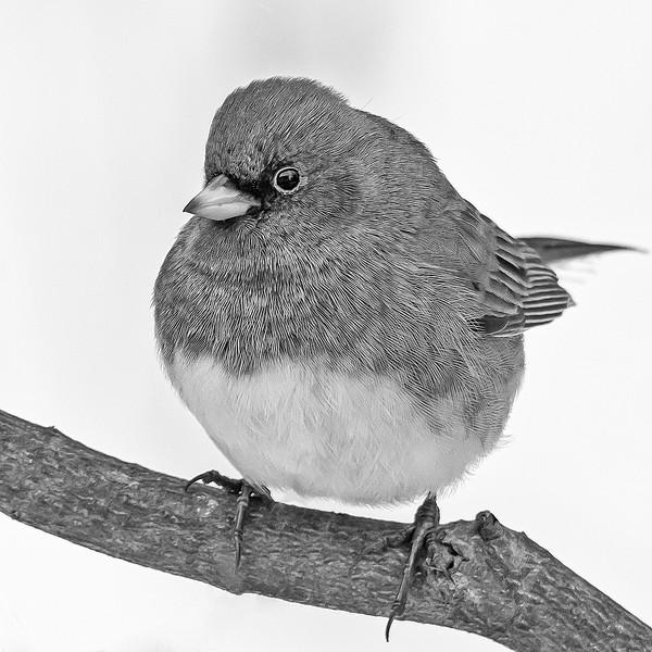 Goldfinch in Winter (B+W)
