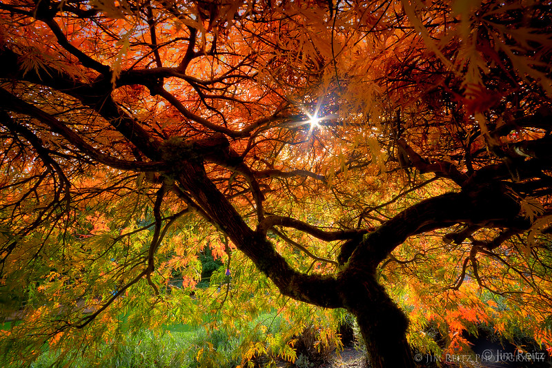 Sunrise from inside a Japanese Maple.