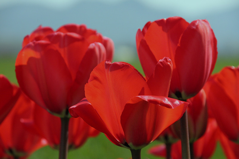 Tulips 08 010.JPG
