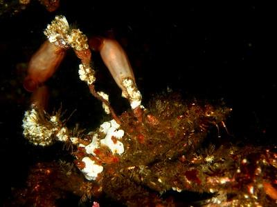 Styela montereyensis (stalked tunicate)