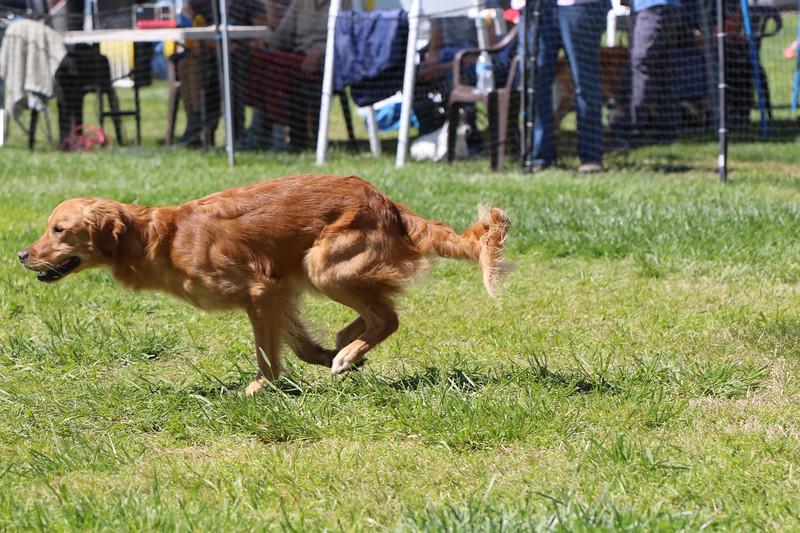 3-31-2018 Shetlant Sheepdog-4517.jpg