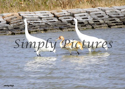 Family of whooping cranes