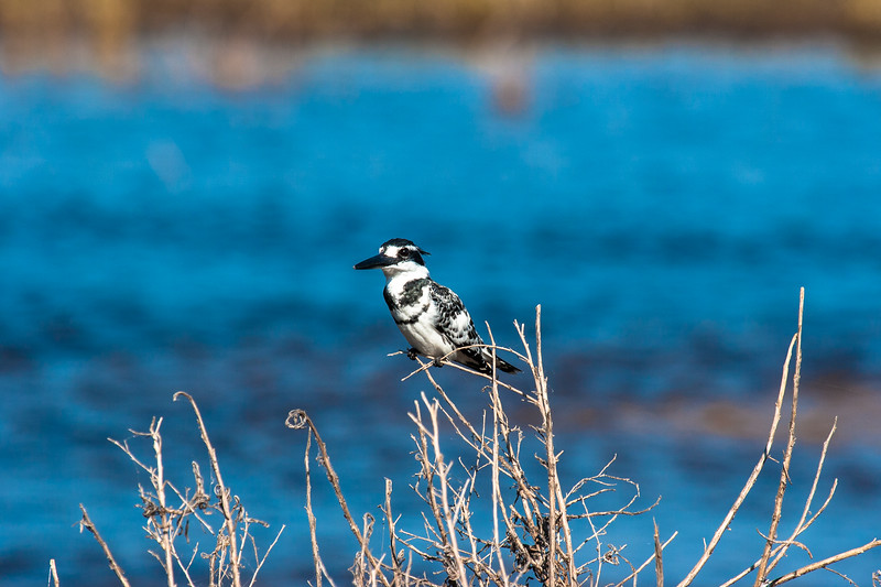 Pied Kingfisher by the water edge
