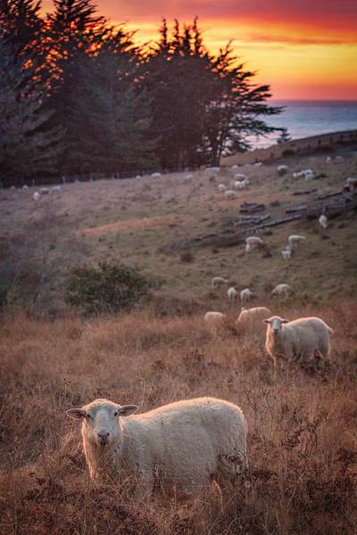 Sheep at Sunset, Sea Ranch, CA