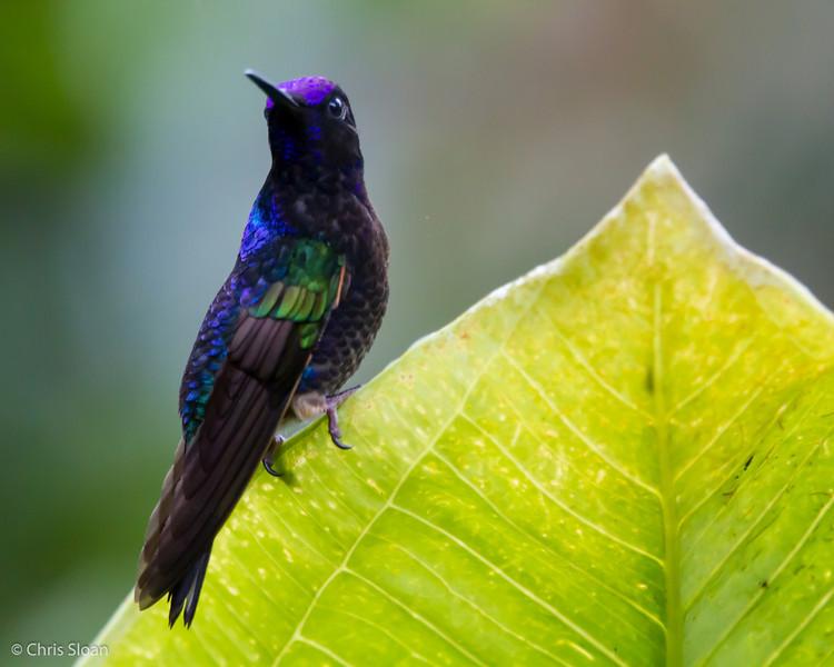 Velvet-purple Coronet at Sachatamia Lodge, Ecuador (03-03-2014)-14.jpg