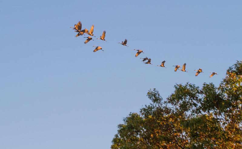 Sandhill Crane flock fly-in Crex Meadows Grantsburg WI IMG_0019.jpg