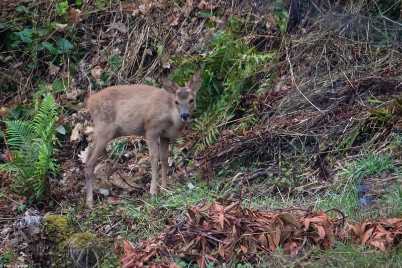 Roe Deer - Kid
