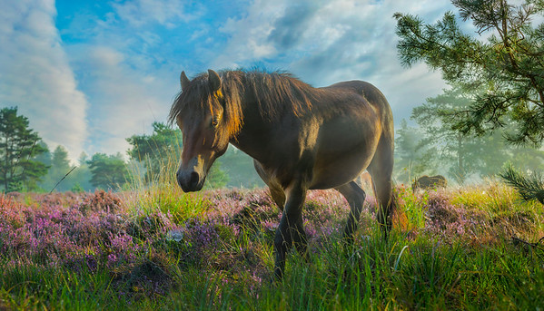 Fine Art natuur foto van een dromerig wild paard alleen op de heide wandelt bij het zachte ochtendlicht.
