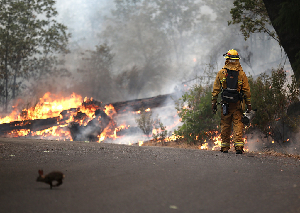 . GROVELAND, CA - AUGUST 21:  A rabbit runs across the road as a firefighter from Ebbetts Pass Fire District monitors a back fire as he battles the Rim Fire on August 21, 2013 in Groveland, California. The Rim Fire continues to burn out of control and threatens 2,500 homes outside of Yosemite National Park. Over 400 firefighters are battling the blaze that is only 5 percent contained.  (Photo by Justin Sullivan/Getty Images)