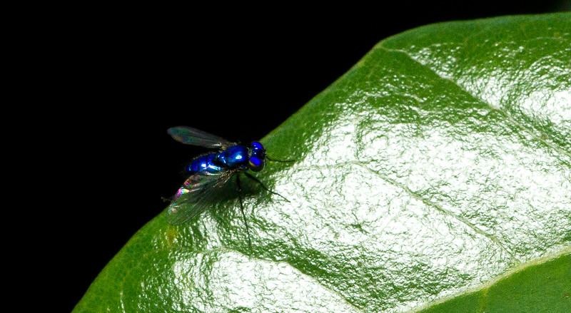 Long-legged fly (Dolichopodidae) from Jacksonville, Florida.