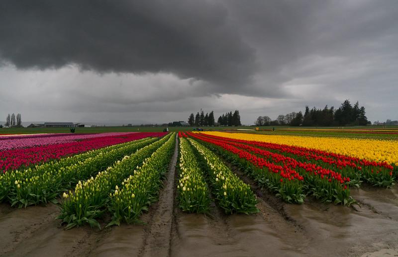 tulip1-7719.jpg