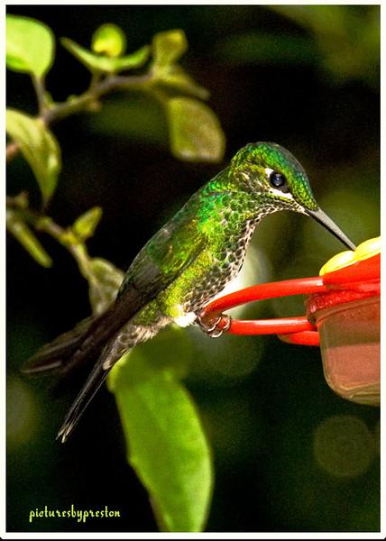 grhummingbird.jpg