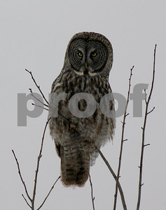 ontario great grey owl gallery