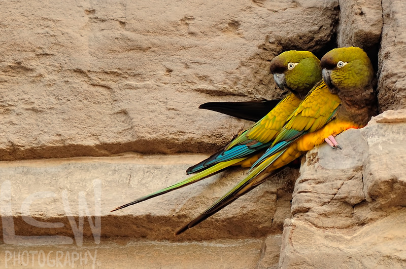 Burrowing Parrots