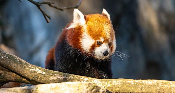 200215 Red Panda