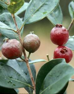 Strawberry guava fruits and leaves