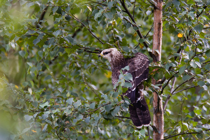 Ķīķis bērza zarā / Honey buzzard