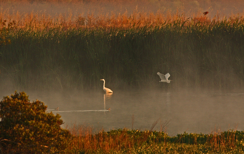WB~Las Gallinas fog sunrise egret flying1280.jpg