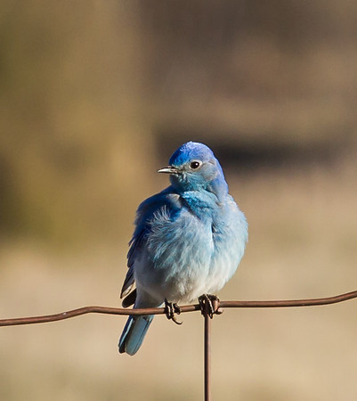 Bluebirds, swallows and bison art